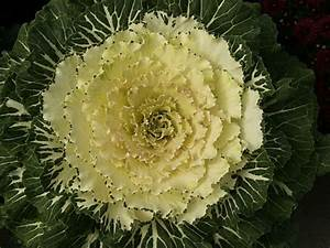 Kale, How to Grow and Care for Flowering Kale and ...