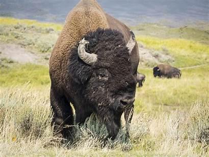 Bison Bull Wildlife Contest American