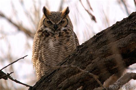 colorado photos great horned owl