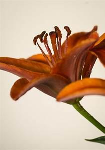 Lilie Topfpflanze Kaufen : lilie lilium in sorten g nstig online kaufen ~ Lizthompson.info Haus und Dekorationen