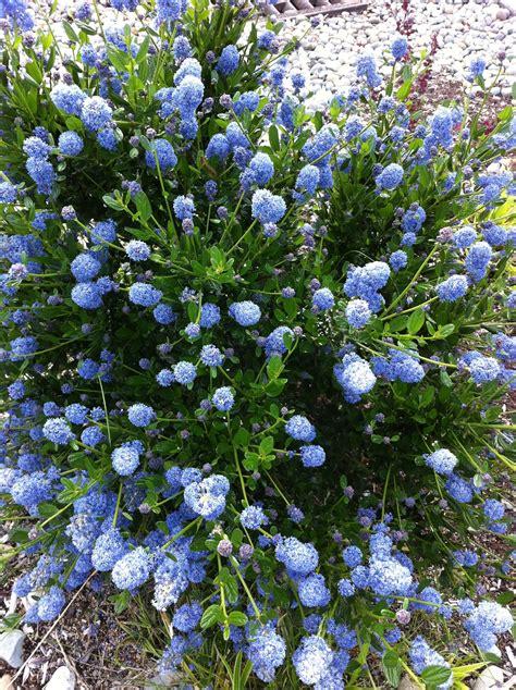 Blue Flowering Shrub Rainyleaf