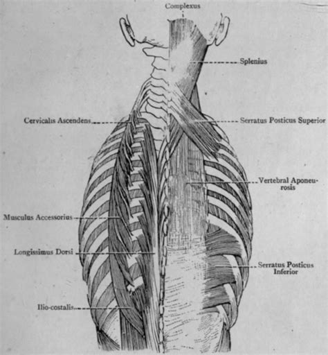 That's why we have compiled an anatomy glossary which explains each topic in layman's language, making it easier to understand. Muscles Of Back