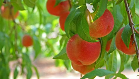 how to prune peach trees