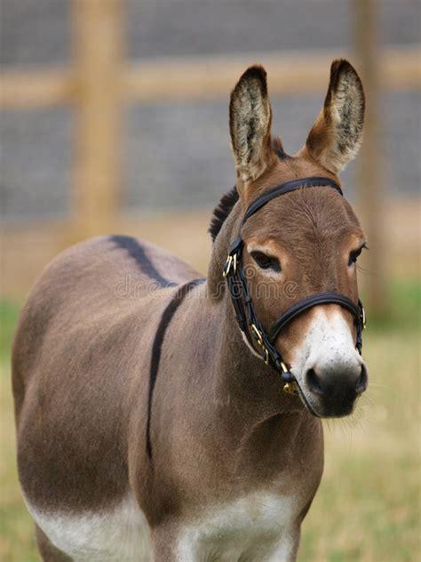 donkey bridle standard shot head