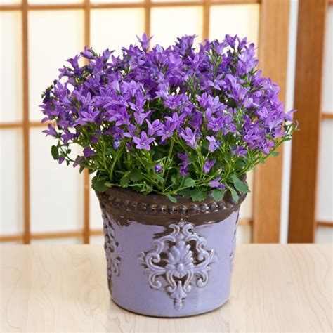 campanula flowers  lavender monarch container