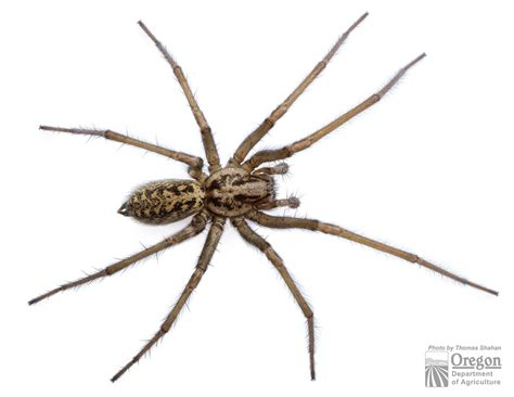 house spider eratigena atrica oregon