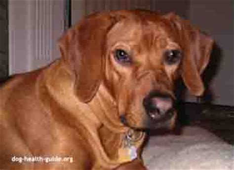 dog vomiting blood   treatment tips