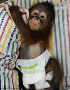 Say hello to Rizki, the tiny nappy-wearing orangutan who ...