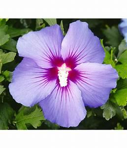 Hibiskus Stämmchen Kaufen : hibiskus zimmerpflanze kaufen hibiskus hibiscus rosa sinensis busch rot pflanzen online kaufen ~ Buech-reservation.com Haus und Dekorationen