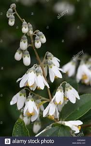 Weiß Blühender Strauch : white flowering deutzia shrub stockfotos white flowering ~ Lizthompson.info Haus und Dekorationen