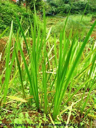 pemanfaatan tanaman lokal ranupani