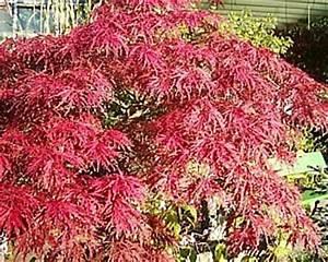 Roter Japanischer Ahorn : japanischer ahorn acer japonicum 39 aconitifolium 39 pflege und tipps ~ Frokenaadalensverden.com Haus und Dekorationen