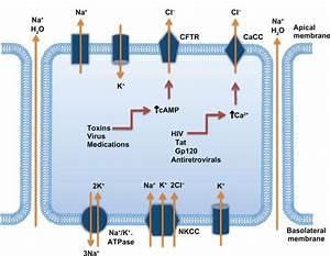 Mechanisms Involved In The Development Of Secretory