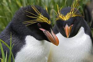 Macaroni Penguin Eudyptes Chrysolophus Photograph by Suzi