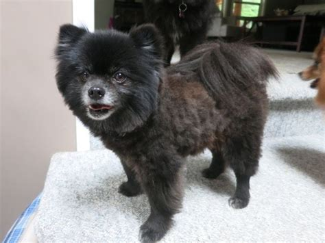 image result  black  tan pom lion cut pomeranians