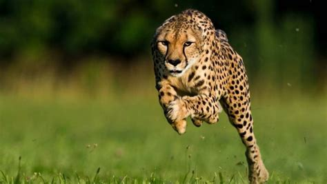 Animals Wallpapers For Mobile Free - most 50 cheetah animals photos hd wallpapers free
