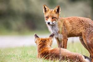 Welpe Größe Berechnen : rotfuchs mit welpe im gras ~ Themetempest.com Abrechnung