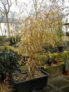 Bambus Im Winter : palmen und co bambus abschneiden ~ Frokenaadalensverden.com Haus und Dekorationen