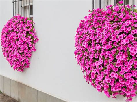 piante da davanzale cascata di petunie balconi e davanzali fioriti