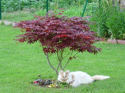 ou planter un erable du japon