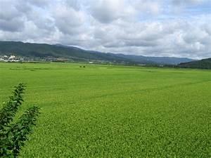 File:Rice fields in south korea.jpg