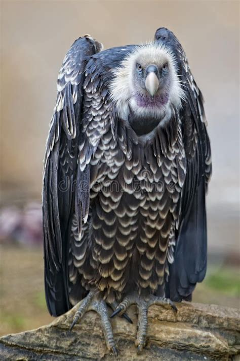 isolated vulture buzzard    stock image