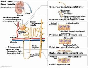 The Urinary System - Nephron Histology