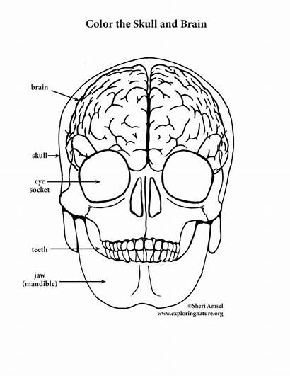 Brain Coloring Skull Pages Anatomy Pdf Human