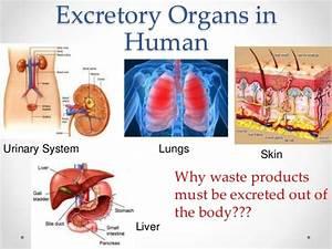 Important Excretory Organs In Man U0026 39 S Body  U0026 Structure Of