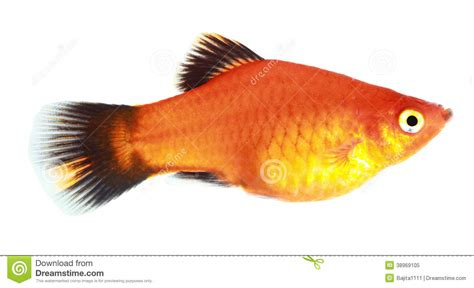 molly fish stock image image  cyan freshwater marbled