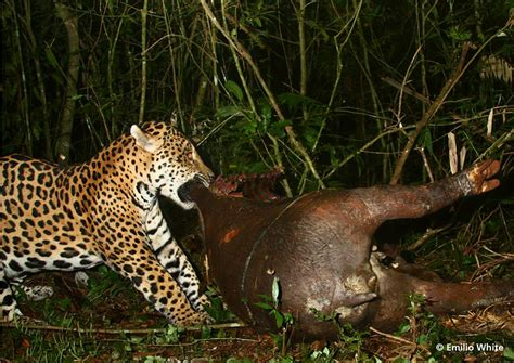 Jaguar's Tapir Feast Offers Rare Glimpse At The Lives Of