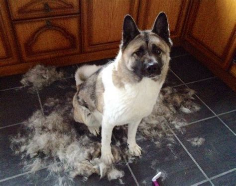 Do Akitas Shed Hair by Dogs Heretherebespiders