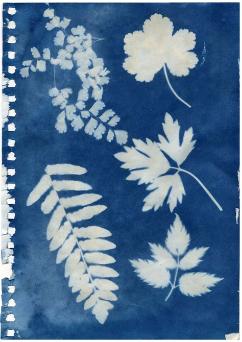 where to buy sun print paper cyanotype leaves by femtyechrome on deviantart