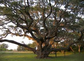the big tree rockport