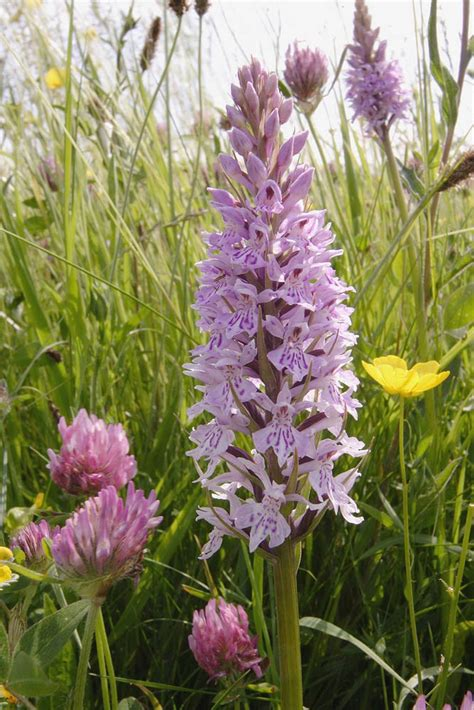 dactylorhiza fuchsii common spotted orchid wild