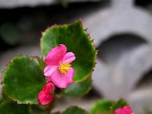 Begonia  U00d7semperflorens