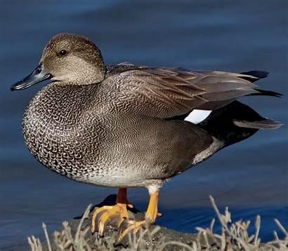 Gadwall Duck Bird Gadwell