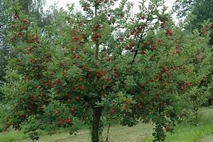 Wann Apfelbaum Pflanzen : apfelbaum kaufen apfelbaum kaufen in 6 schritten zur ~ Lizthompson.info Haus und Dekorationen