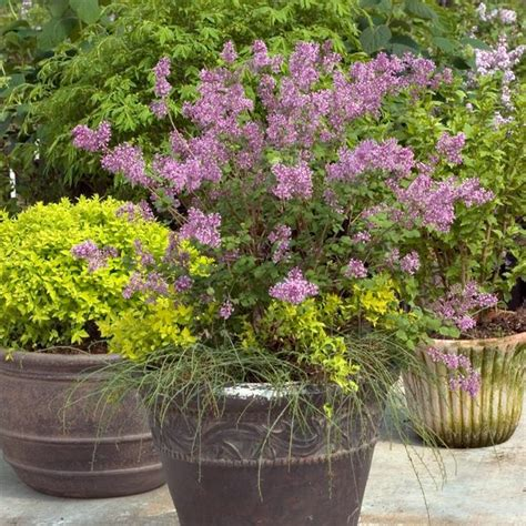 growing magnolias in pots 44 best shrubs for containers best container gardening plants page 4 of 4 balcony garden web