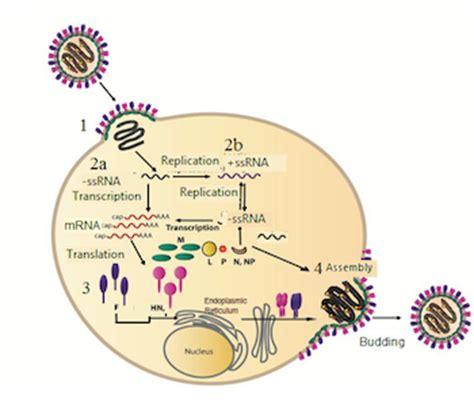 CDC Mumps