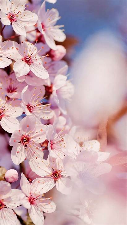 Blossom Cherry Wallpapers Japanese Blossoms Iphone Backgrounds