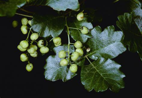 rid  poison ivy poison sumac  poison oak