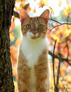 Awesome ginger bicolor cat | Cats | Pinterest | Tabby cats ...