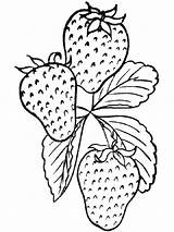 Strawberry Coloring Pages Berries Fruits Recommended sketch template