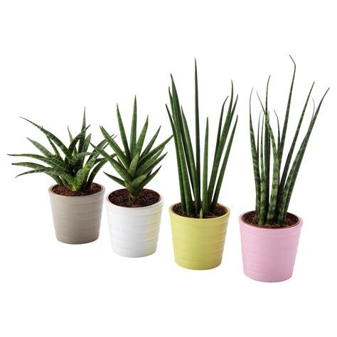 piante d arredo per interni piante da giardino in vaso galleria di immagini