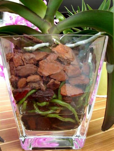 culture phalaenopsis et autres orchid 233 es en pot de verre