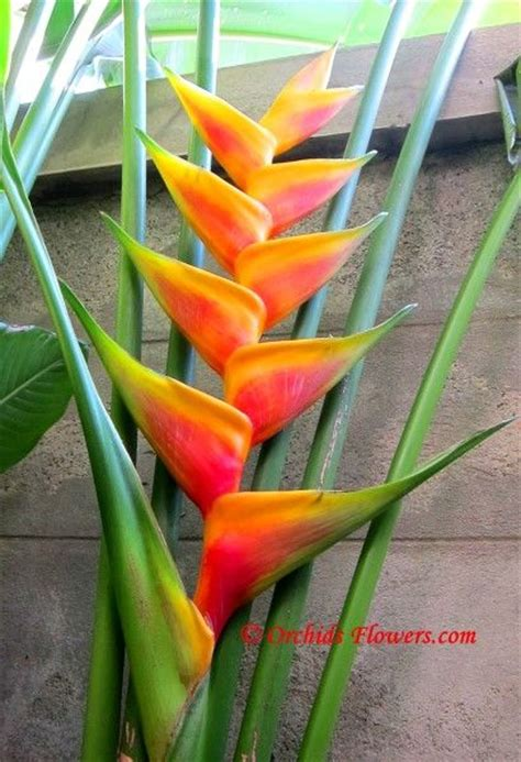 heliconia color heliconia jacquinii orchids flowers