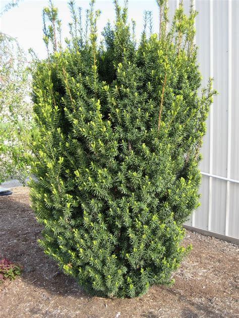 yew bush taxus x media hicksii hicks yew plants for hedging privacy pinterest enabling count