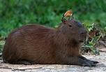 Capybara | The Biggest Animals Kingdom