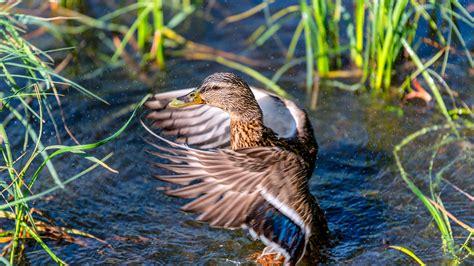 mallard bird duck  ready    flight
